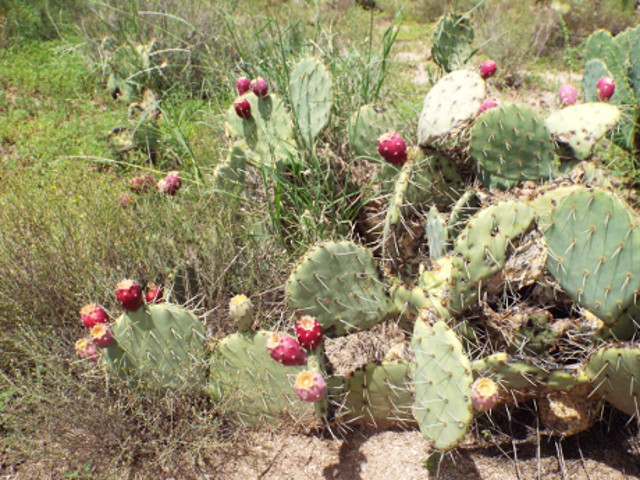 prickly pear amaranth juice smoothie power drinks foraging rejuvenate superfoods
