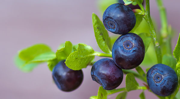 Bilberry / Blueberry wild bilberry and wild bluebery