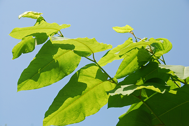 giant knotweed resveratrol